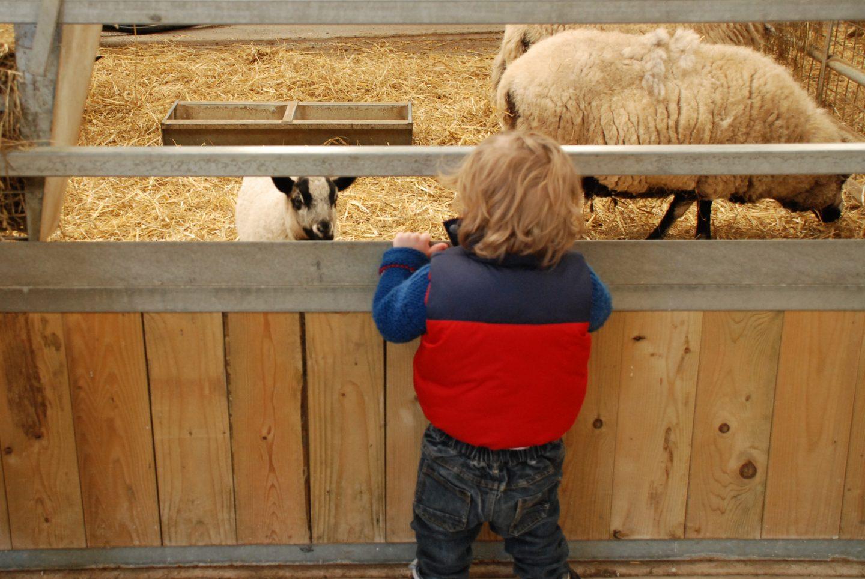 Sheep at Folly Farm adventure park and zoo