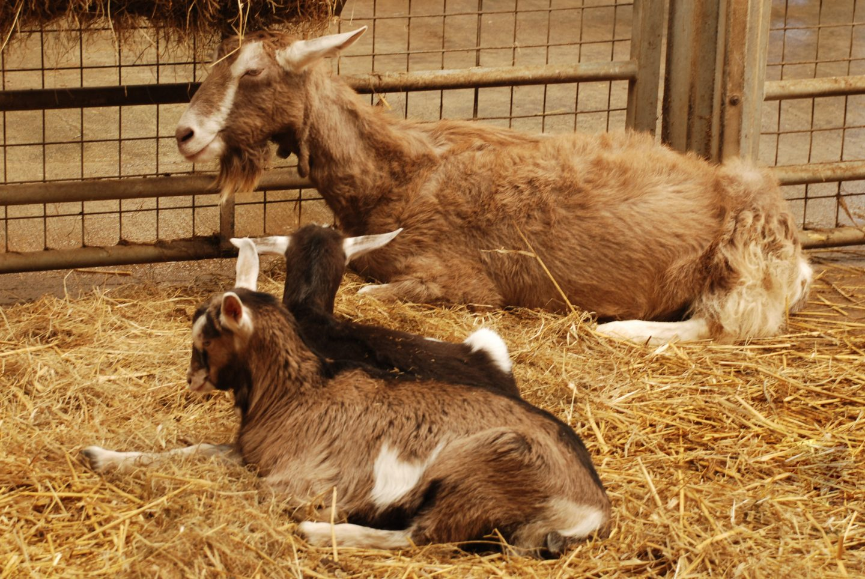 Goats at Folly Farm adventure park and zoo