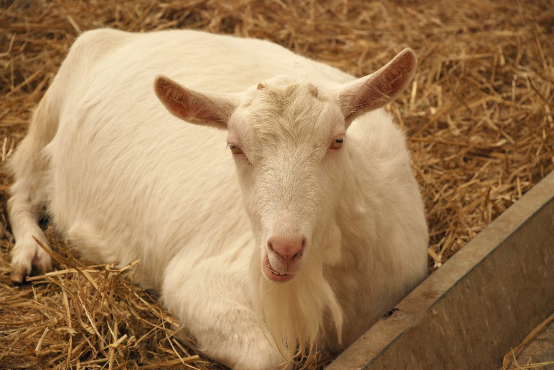 Goat at Folly Farm adventure park and zoo