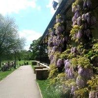 Marlow-Park-Wisteria
