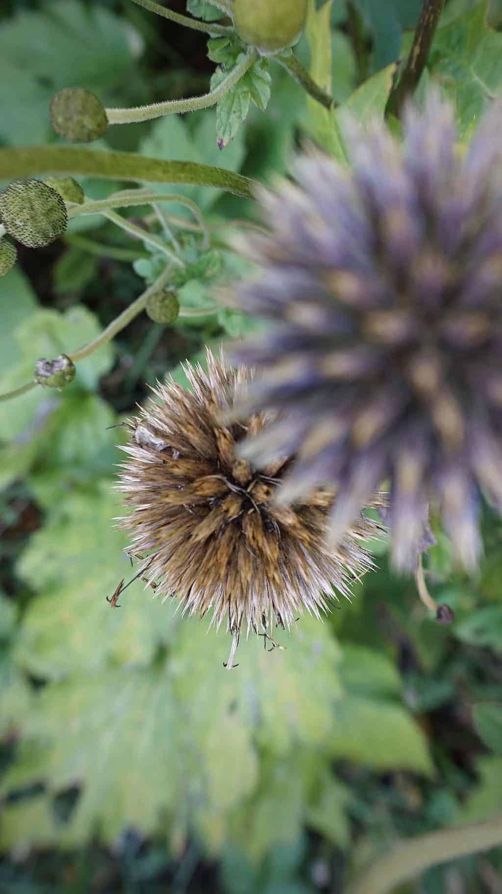 autumn-garden-thistle