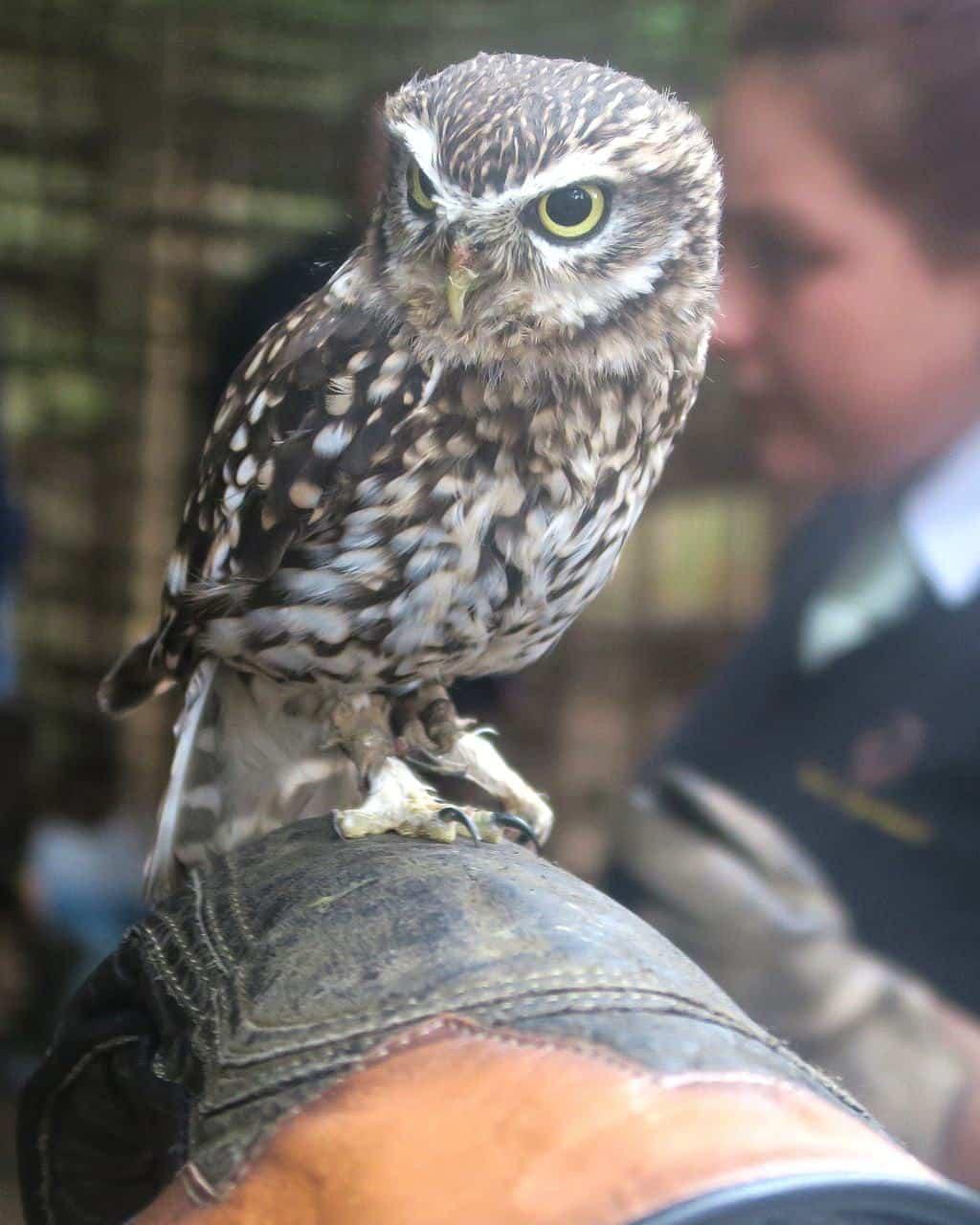 little_owl2