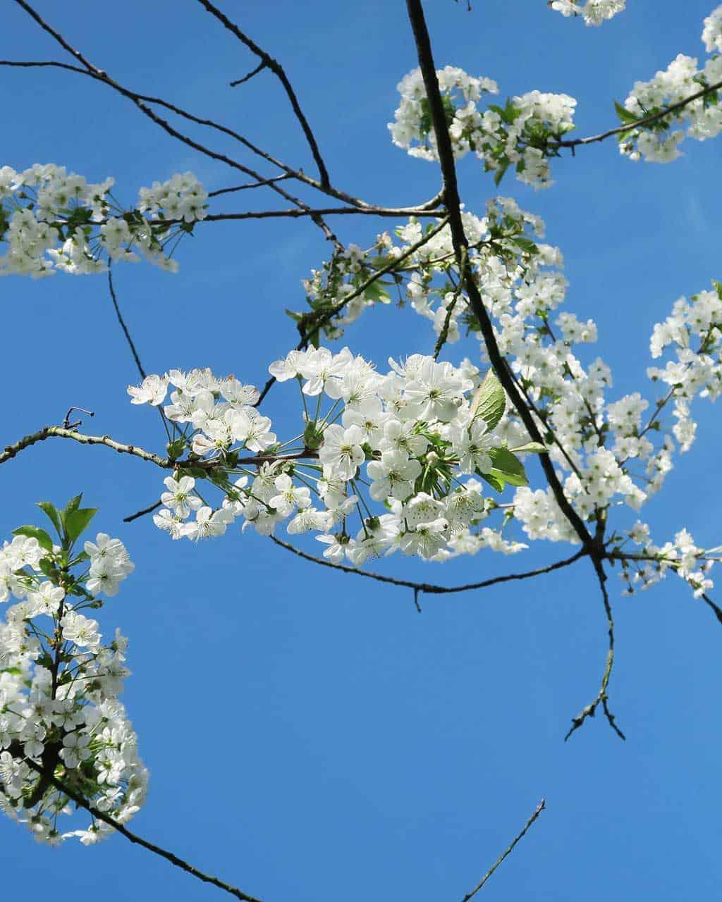 Blue sky and white blossom