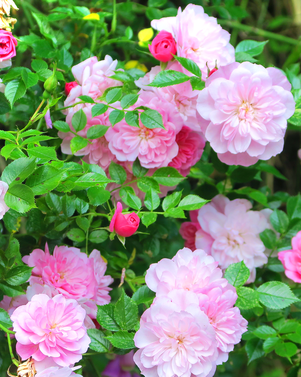 Beautiful pink roses in our English cottage garden