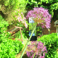 I love decorating dark areas our garden with a garden mirror. They bounce light around and make for an interesting view! Our cottage garden is full of roses and alliums in the summer months.
