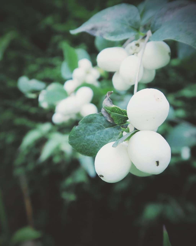 So muchautumn colour in the garden | The Snowberry plant